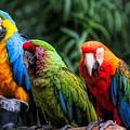 Parrots by Paulette Thomas