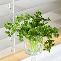 Parsley Bouquet by Diane Macdonald