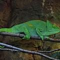 Parson's Chameleon by Doc Braham