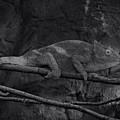 Parson's Chameleon - Unique Prospective by Doc Braham