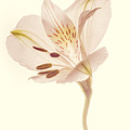 Pasae Alstroemeria By Flower Photographer David Perry Lawrence by David Perry Lawrence