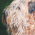 Pascal, Soft Coated Wheaten Terrier by Monika Brauer