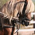 Paso Fino Stallion