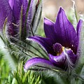 Pasque Flower Duo by Renee Croushore