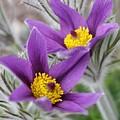 Pasque Flower Friends by Renee Croushore