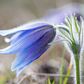 Pasque Flower's Silver Grey Hair by Torbjorn Swenelius