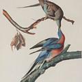 Passenger Pigeon by John J Audubon
