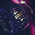 Passiflora Alata - Winged Stem Passion Flower - Ruby Star - Ouva by Sharon Mau