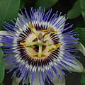 Passion Bloom Vi by Nigel Jeremiah