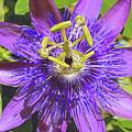 Passion Flower 2 by Nadalyn Larsen