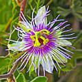 Passion Flower by Edita De Lima