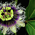 Passion Flower by James Temple