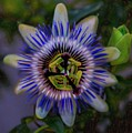 Passion Flower by Patricia Dennis