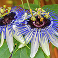 Passion Flower Power by Kristofer M Johnson