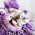 Passion Flower by Stephanie Frey