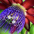 Passion Flower Ver. 11 by Robert VanDerWal
