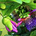 Passion Flower Ver. 14 by Robert VanDerWal