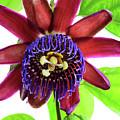 Passion Flower Ver. 5 by Robert VanDerWal