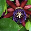 Passion Flower Ver. 8 by Robert VanDerWal