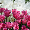 Passionate Tulips by Constance Woods