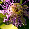 Passionflower by Robyn King