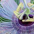 Passionflower Vine by Linda Wolff
