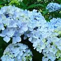 Pastel Blue Hydrangea Flowers Green Garden Floral by Baslee Troutman