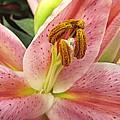 Pastel Pink Lily by Bonita Brandt