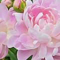 Pastel Pink Peonies by Regina Geoghan