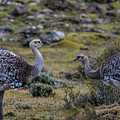 Patagonia Rhea by Walt Sterneman
