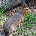Patagonian Cavy IIi by Michiale Schneider