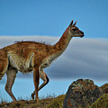 Patagonian Guanaco - Chile by Stuart Litoff