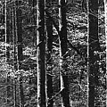 Patchwork Dogwood Panorama Bw by Jim Dollar