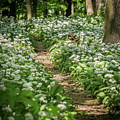 Path Through A Deciduous Forest, Wild Garlic by Stefan Rotter