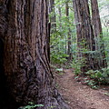 Pathway Through A Redwood Forest On Mt Tamalpais by Ben Upham III