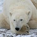 Polar Bear Patience by Connie Jeffcoat
