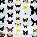 Pattern Made Out Of Many Different Butterfly Species by Srdjan Kirtic
