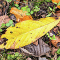 Paw Paw Leaf Fall Colors by Edie Ann Mendenhall