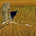Pb296601 Great Blue Heron by Stephen Ham