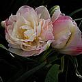 Pe0ny Tulip Duet 2 by Nancy Kane Chapman