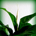 Peace Lily - First Bloom by VIVA Anderson