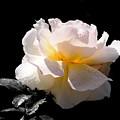 Peace Rose Inner Light by John Chatterley