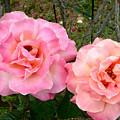 Peace Roses by Wanda-Lynn Searles
