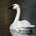 Peaceful Swan by Sue Harper