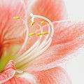 Peach Amaryllis by Jacky Parker