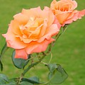 Peach And Gold Roses by Reshmi Shankar