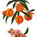 Peach And Peach Blossoms by Anne Norskog