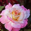 Peach And White Rose by Bill And Deb Hayes
