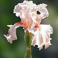 Peach Bearded Iris 2 by Nancy Aurand-Humpf