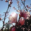 Peach Blossom by Bryce Clark